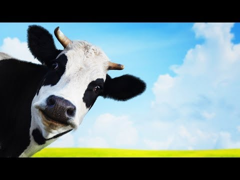 Les animaux de la ferme la vache youtube for Etable entravee vache