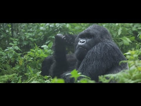 Protecting Mountain Gorillas Across African Borders