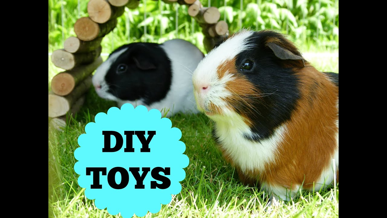 two curious cavies diy guinea pig crafts for you your cavy