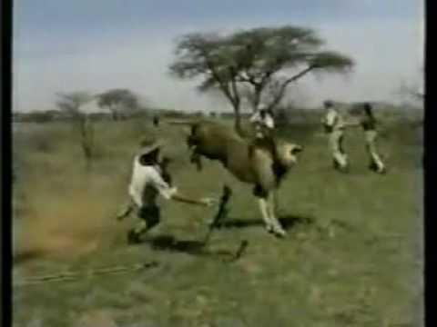 18  Gallery Images For Rhodesian Ridgeback Dog Hunting LionsRhodesian Ridgeback Lion Hunting Video
