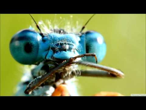 Real Aliens - Damselflies in Super Macro 1080p