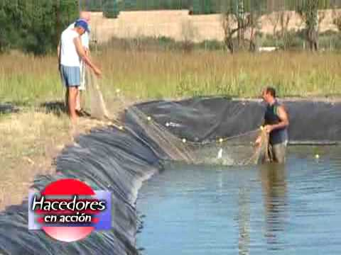 Criadero de peces pezcampero youtube for Peces para limpiar estanques
