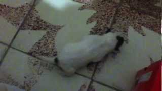 Cruza De Pitbull Con Rottweiler 13 Dias
