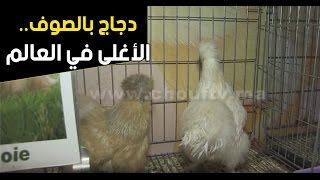 بالفيديو.. من مكناس.. دجاج بالصوف.. الأغلى في العالم | بــووز