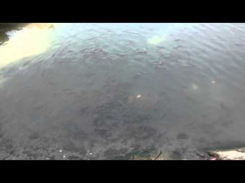Nainital Tourism - Fishes in Nainital Lake