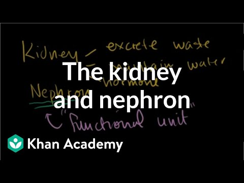 The Kidney and Nephron