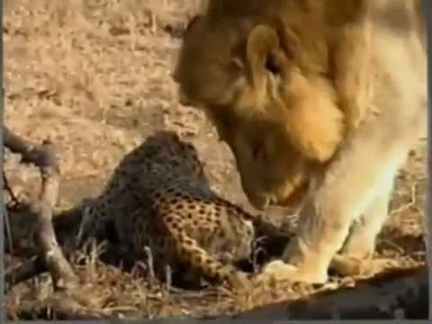 cheetah eating lion hq...