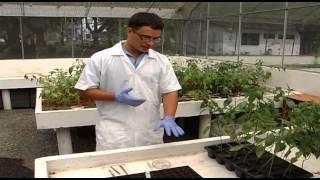 Cultivar Aji (3)