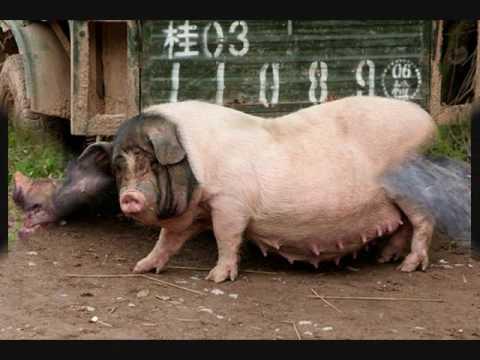 William Coorg...World's Biggest Pig