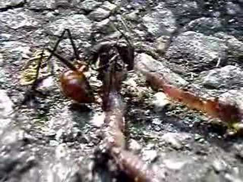 Giant Ant Vs Earthworm
