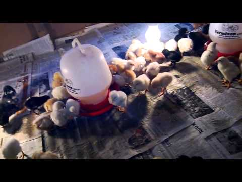Ternak Ayam Kampung Super part 1 - umur 5 harian