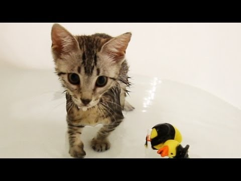 KITTEN PLAYS IN BATHTUB, This is Nylah's first experience playing in water. Savannah cats are known to like water, which is why Nylah loves it! Please like/fav the video if you enjoy...