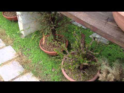 My garden bonsai yamadori 2