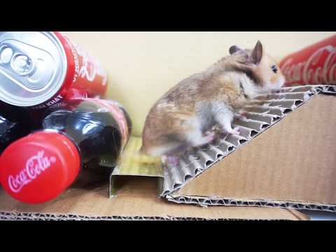 My Funny Pet Hamster takes on the COCA COLA Obstacle Course maze