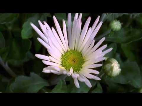 La belleza de las flores abriendo.