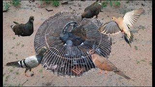 """Theo Chân Bẫy Chim Cu Bằng """"Lồng Quạt"""" Và Cái Kết Khó Tưởng .Electric Fan Guard Bird Trap"""