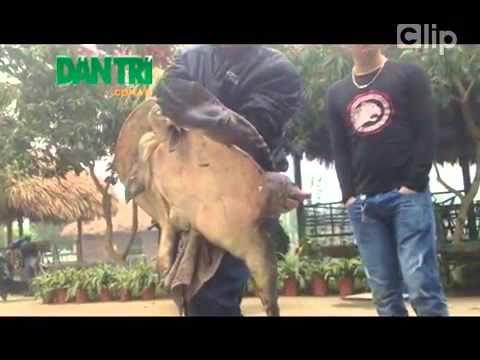 Hà Nội  Bắt được ba ba nặng gần 40kg, khoảng 50 tuổi