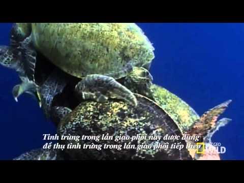 Tập tính sinh sản của rùa biển