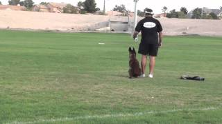 Police Dog Training Get Him To Stop On A Dime.
