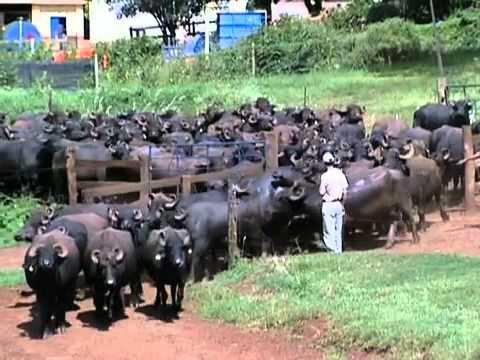 Bacia leiteira produz leite de búfala para legítima muçarela