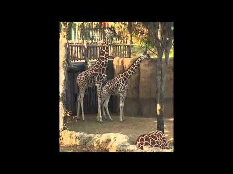 Kid Interrupts Mating Giraffes at the Dallas Zoo (but Katy is expecting)