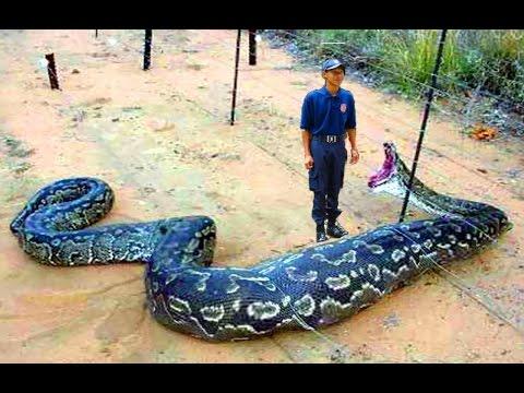 giant anaconda eats man alive - photo #16