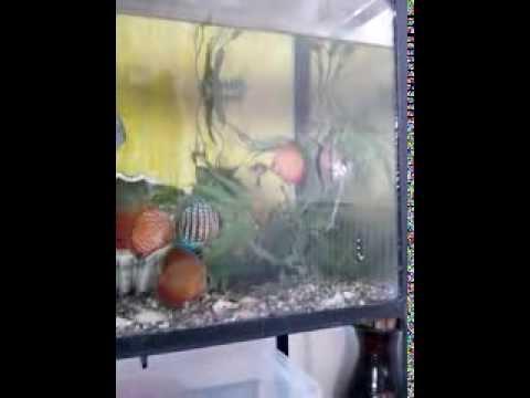 Aquarium-biggest gold fish & discuss    acvariu-carasi aurii uriasi si discusi