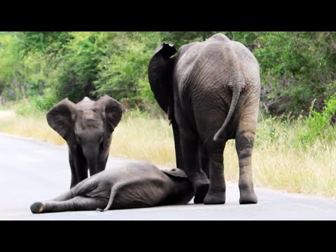 Herd of Elephants Help an Elephant Calf After Collapsing in the Road - Latest Wildlife Sightings