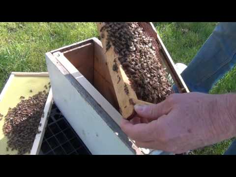 Beekeeping: Hive Inspection 5 Days After Installing A Package