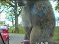 masterbating monkey