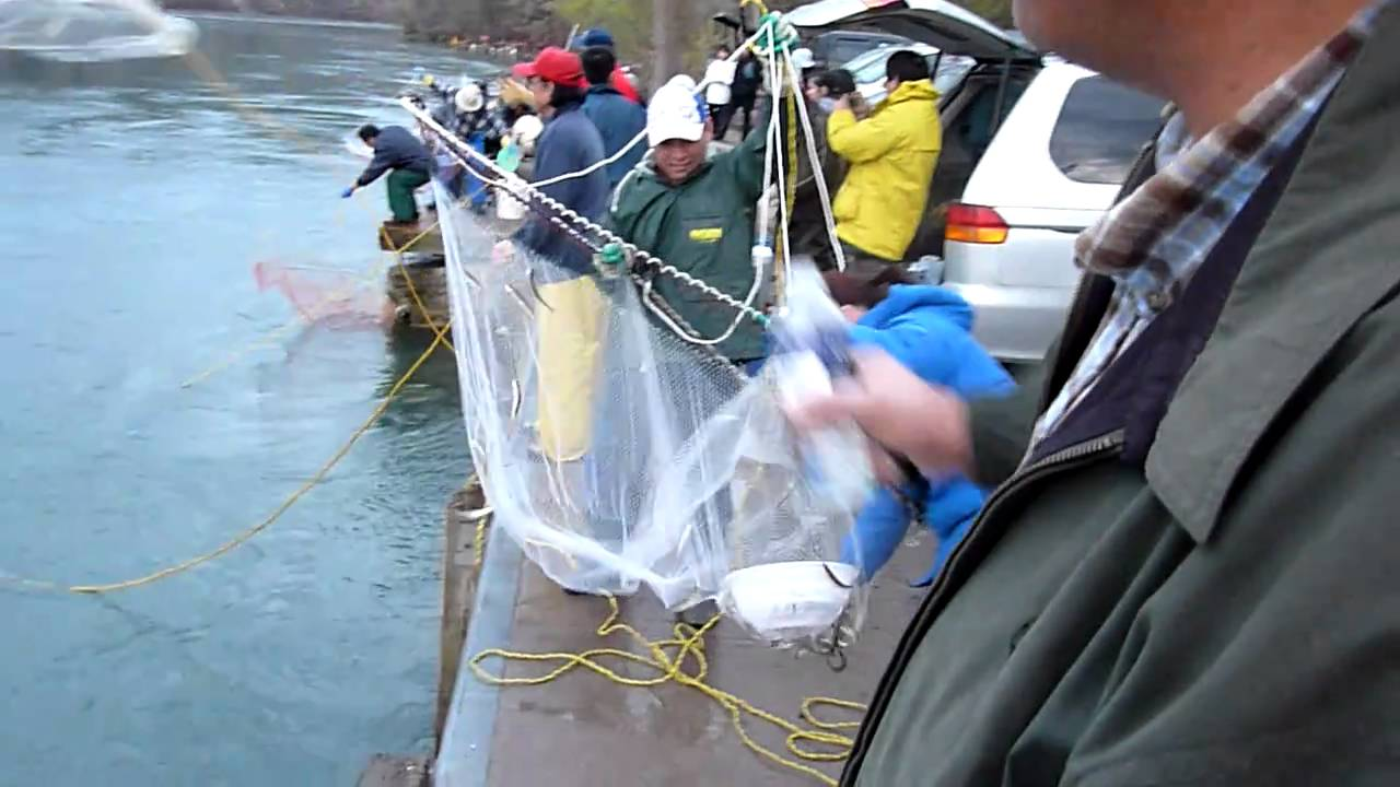 Awesome dip net and lift net massive smelt fishing at for Dip nets for fishing
