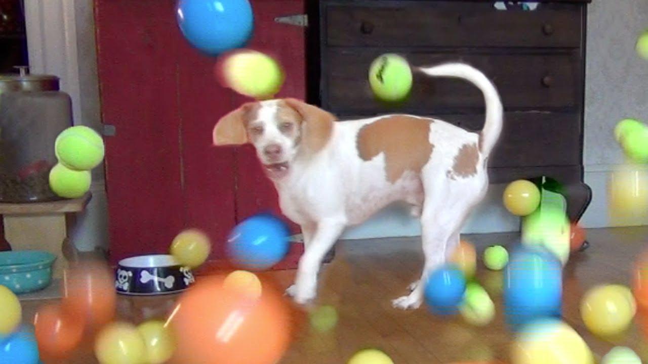 Ils offrent 100 balles à leur chien pour son anniversaire