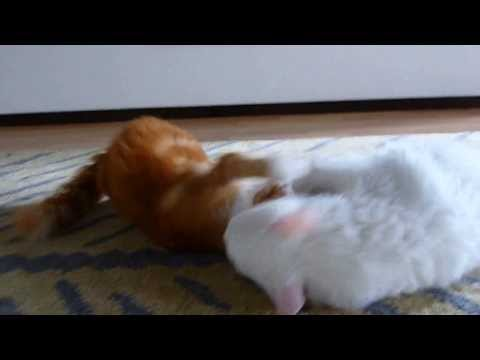 Cat Fight: LaPerm kitties Tindra and Dexter get it on!