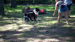 [dog in wheel chair plays badminton with owners]