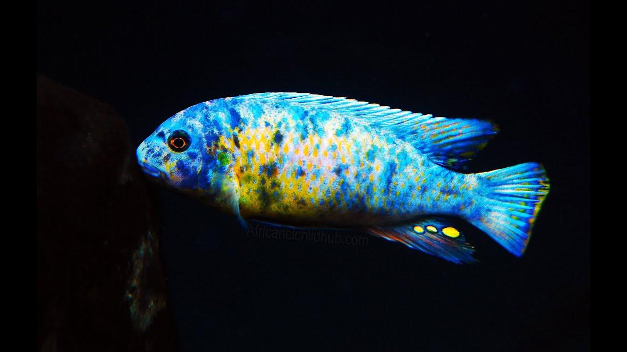 Mbuna from lake malawi interesting facts youtube for Lake malawi fish