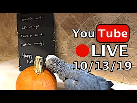 🔴🐦Einstein  Parrot LIVE! 10/13/19 🎃 Halloween Fun!