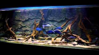 BLUE LUXURY AQUARIUM Malawi Haplochromines