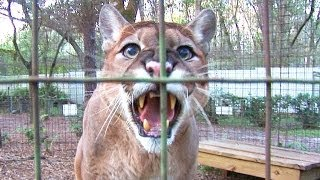 Cougar Talk...