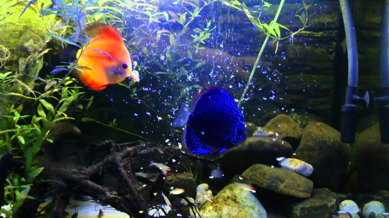 Discus fish youtube discus fish tank youtube 2017 fish for Fish tank youtube