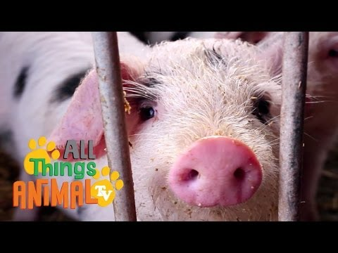 Pigs: Kids Educational Videos