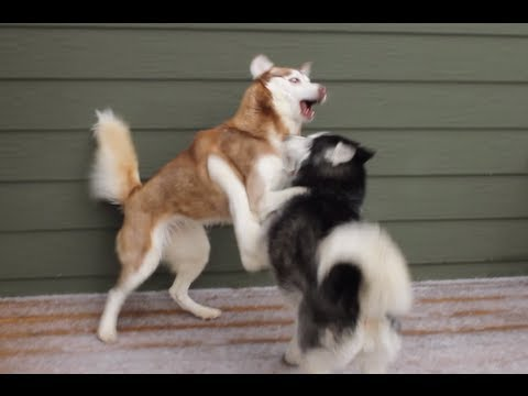 EPIC BATTLING HUSKIES