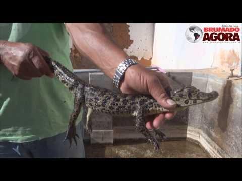 Filhote de jacaré encontrado na zona rural de Brumado