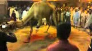Camel Qurbani (shared by Artistic Edge).3gp view on youtube.com tube online.