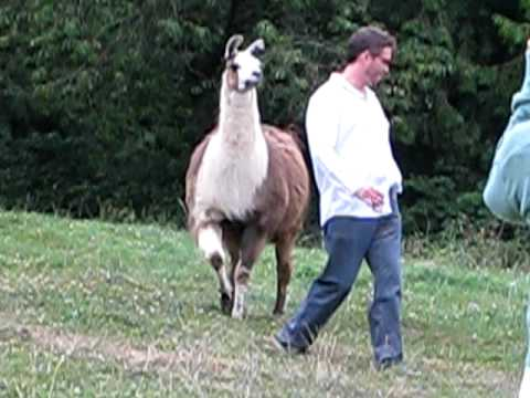 Funny Llama Attack!!, One of the funniest things I've ever seen, caught-on-tape! If you like it, please share it! August 8, 2009, Abbotsford, BC, Canada. A group of us on a walkab...