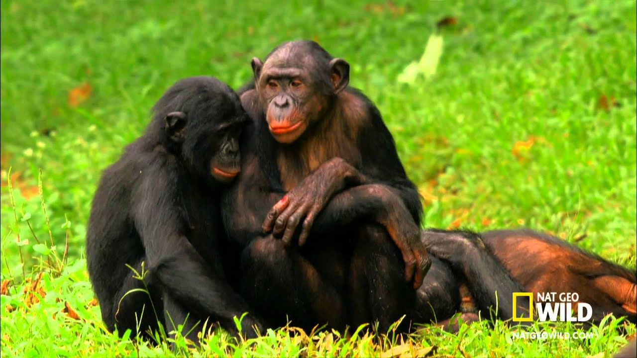 Bonobos Monkey Video Video Bonobo Monkeys