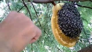 hướng dẫn cách bắt ong,cách lấy mật ong ruồi siêu bá đạo . phụ nữ , trẻ em và người yếu tim đừng xem