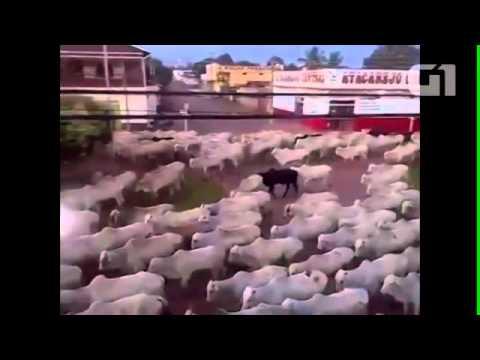 Vídeo de boiada gigante andando em avenida de RO viraliza na internet notícias em Rondônia
