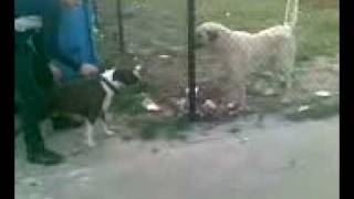 American Pitbull Terrier Vs.Kurdish Kangal Dog Fight 2008