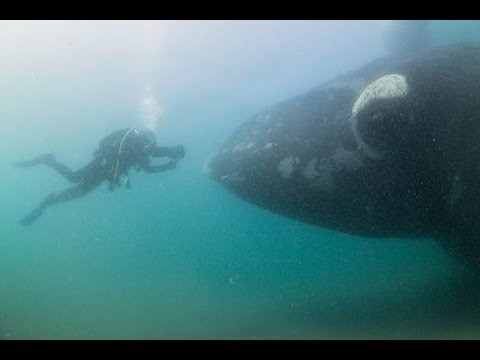 Diving in Patagonia with Southern Right Whales