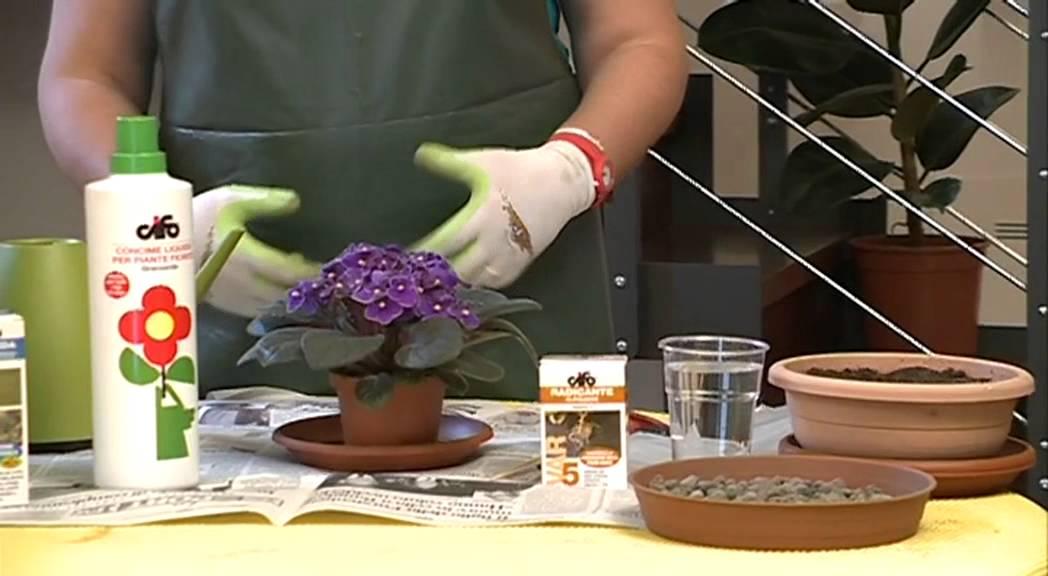 Cifo ascolta le tue piante la violetta africana youtube for Violetta africana